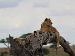 Löwin mit Jungen auf Safari durch Tansania