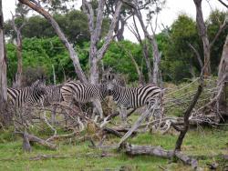 Zebras im Delta