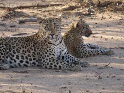 Leopard bei Okonjima