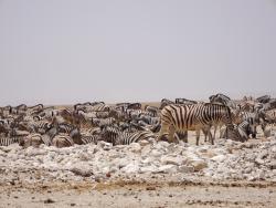 Zebras im Etoscha