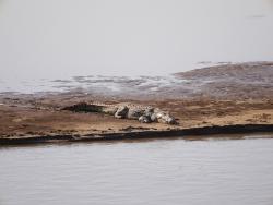 Krokodil in Lauerstellung