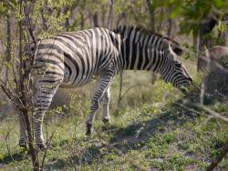 Zebra im Krüger National Park