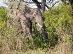 Elefant im Krüger Park