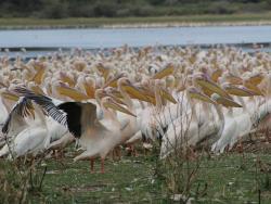 Pelikane an einem Wasserloch in Tansania