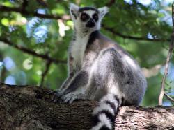 Ringtailed Lemure auf Madagaskar