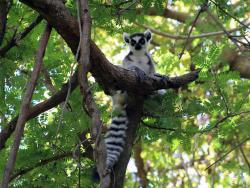 Ringtailed Lemure