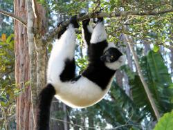 Schwarz weisser Lemur