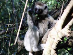 Sifaka Weiss auf Madagaskar