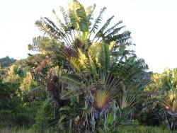 Wahrzeichen Travellers Palm auf Madagaskar