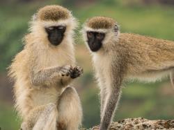 Vervet Affen