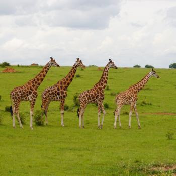 Privatsafari zu den Highlights Ugandas